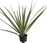 "Colorama Madagascar Dragon Tree - Dracaena marginata - 2 Plants - 3"" Pot"