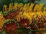 Gifts Delight Laminated 32x24 inches Poster: Grevillea Robusta Flowers Yellow Large Silver Oak Grevillea Silver Tree Greenhouse Proteaceae Tree Bush Tenerife Canary Islands Exotic Comb-Like