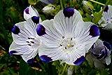 The Dirty Gardener Nemophila Maculata Five Spot Flowers, 87,000 Seeds