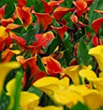 Tequila Sunrise Calla Lily Mix - 3 Bulbs