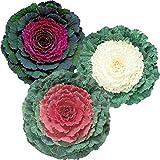 Flowering Kale Ge Ornamental Cabbage Brassica oleracea 50 Pcs Seeds Mix Color