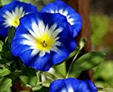 Golden autumn farm-50 Dwarf Morning Glory (Convolvulus Tricolor)seeds