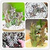 AGROBITS Caralluma Hesperidum Bonsai Rare Succulents Bonsai Lithops Pseudotruncatella Office Bonsai Plants Flower Bonsai 100 PCS/Bag