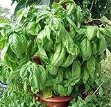 120+ITALIAN LARGE LEAF BASIL Seeds Organic NON-GMO Pesto Garden/Patio Container