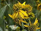 1/8 oz. Seeds of Actinomeris alternifolia, Golden Honey Plant, Yellow Wingstem, Verbesina alternifolia