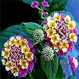 200 Pcs Lantana camara flower seeds Rare Perennial Herb Plant for Home Garden