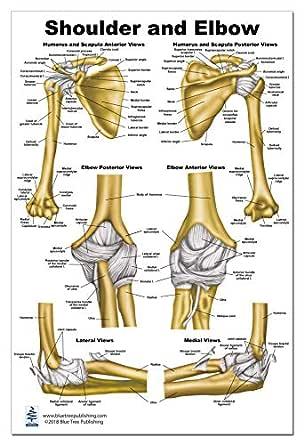Shoulder and Elbow Anatomy Poster 24x36: Amazon.com ...