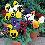 50 Seeds - Pansy Ravel Mix Flower Seeds (Viola Tricolor Maxima F2)
