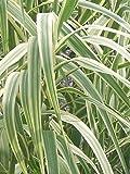 40 Peppermint Stick Giant Reed Grass Seeds (Arundo Donax 'Peppermint Stick')