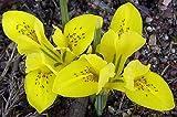 (10) Spectacular Flowering Border Perennial Flowers, Iris Rock Garden Danfordiae, Bulbs