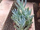 Succulent plant, Blue chalk stick, Senecio mandraliscae, Blue Chalk Stick (known as Kleinia mandraliscae) is a spreading succulent