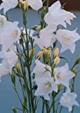 Campanula (Bellflower) persicifolia Bells White 5,000 seeds