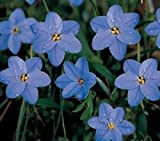 Ipheion - uniflorum 'Rolf Fiedler' - Spring Star Flower 10 Bulbs