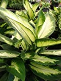 1 Bare Root of Camille Dieffenbachia -Tropical Houseplant Gorgeous Dumb Cane