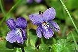Ambrosial - Fragrances of Heaven Violet Leaf Essential Oil (Viola Odorata) 100% Pure & Natural - 10Ml