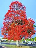 Brachychiton acerifolius, exotic Illawarra Flame Tree flowering seed - 10 seeds