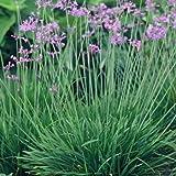 Outsidepride Society Garlic - 100 Seeds
