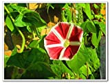 MORNING GLORY FLOWER Ipomoea tricolor PLANT MIXED MULTICOLOR FLOWER EASY CLIMBING VINE SEEDS Home garden plant 20pcs