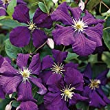 3 Root Clematis, Jackmanii, (Bare Root/rhizome),-flowered Vine,Now Shipping !