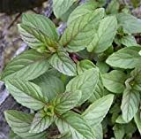 Chocolate Scented Mint Starter Plant