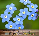 Forget Me Not (Myosotis sylvatica - common variety) - 800 Seeds