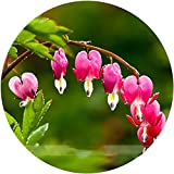 (Heart *Ambizu*) Lamprocapnos Spectabilis Bleeding-heart Plant Flower Seeds, Professional Pack, 5 Seeds / Pack (Red Lamprocapnos, 1 Pack)