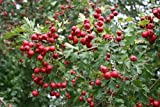 5 Seeds of Jelly Tree 3452 (Crataegus Monogyna)