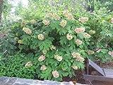 Oakleaf Hydrangea - 3 Gallon