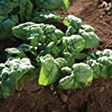 100 Seeds of Bloomsdale Spinach - Spinacia Oleracea