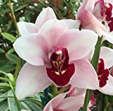 Orchid Insanity - Cymbidium Kaylie 'Momo' - perfect pink blooms with full red lip, lots of flowers, vigorous grower, ideal beginners orchid