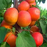 Seeds Shopp - 5 pcs/bag Apricot tree seeds home plant Delicious fruit seeds very big and sweet for home garden plant New Arrival !