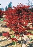 """Blood Leaf Japanese Maple """"Acer palmatum Atropurpureum""""15 Seeds"""