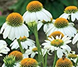 Echinacea Pow Wow White Potted Plant, Great for any Garden, /Starter Plant, Nice as a Specimen Plant