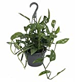 """Swiss Cheese Plant - Monstera adansonii - Easy to Grow Old Favorite - 8"""" Pot"""