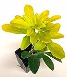 1 Choisya ternata 'Sundance' Mexican Orange - Bright yellow foliage - Fragrant