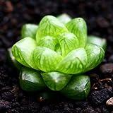 Live Succulent Plant Mini Succulents (Haworthia cymbiformis var. obtusa)