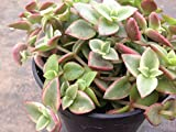 This listing is for 2 succulent plants Crassula Calico Kitten or Crassula Marginalis Rubra Variegata is a beautifully colored succulent.
