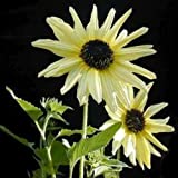 25 Italian White Sunflower Helianthus Debilis Seeds