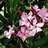 Oleander Seeds (Nerium oleander) 50+Seeds