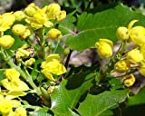50 Oregon Grape Holly Seeds, Mahonia Aquifolium