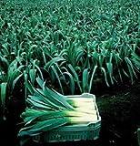Leek Pandora D2757A (Green) 100 Organic Seeds by David's Garden Seeds