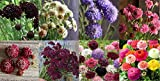 David's Garden Seeds Collection Set Flower Scabiosa Open Pollinated QT8583 (Multi) 8 Varieties 400 Seeds (Non-GMO, Open Pollinated)