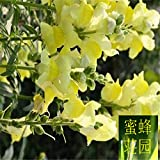 Large Flower Onion Seeds Giant Onion Shade Onion Seeds Shrimp Onion About 100seeds Yellow