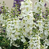 Outsidepride Angelonia Serena White Flower Seed - 15 Seeds