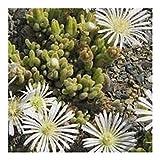 Drosanthemum marinum - Mesembryanthemum - 15 seeds