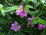 "CUPHEA - MEXICAN HEATHER - LAVENDER - 2 PLANTS - 3"" POT"