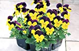 ikota Time-Limit!! 200 PCS Beautiful Pansy seeds Mix Color Wavy Viola Tricolor Flower Seed bonsai potted DIY home&garden
