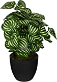 FirstBase Elementals Watermelon Peperomia Plant