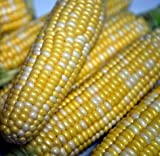 Peaches & Cream Sweet Corn - 300 Seeds - VALUE PACK!