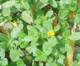 Portulaca Oleracea (Common Purslane / Verdolaga) 2000 Seeds